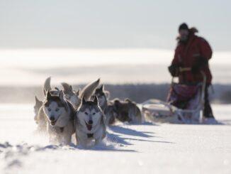 Cani da slitta in Svezia