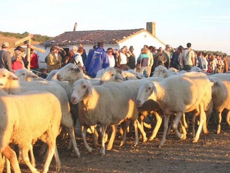 Transumanza di ovini in Navarra
