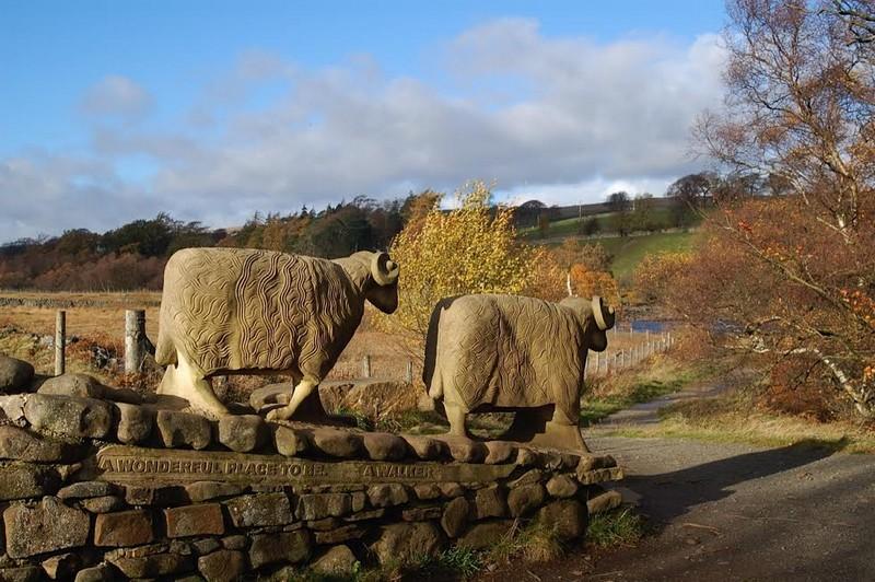 Pennine way sheep