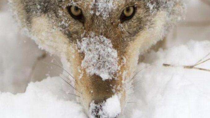 Un lupo appenninico nel Parco Nazionale d'Abruzzo