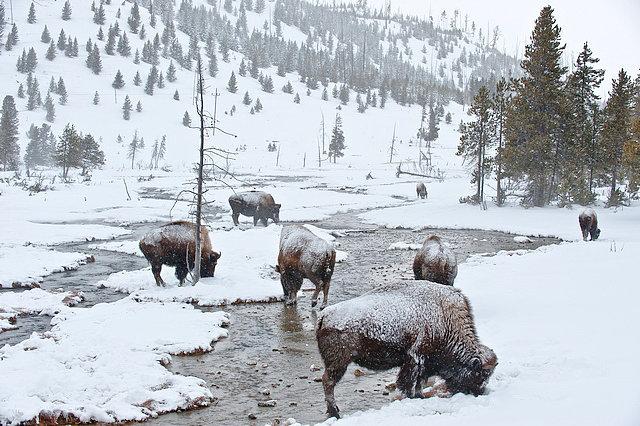 Il Parco Nazionale Yellowstone in inverno