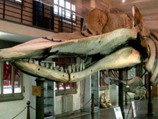 "Museo di anatomia comparata ""E. Giacomini"""