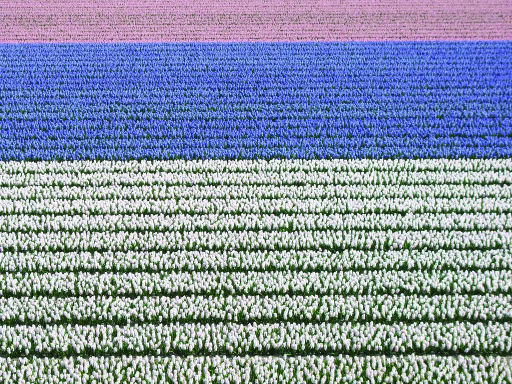 Campo di tulipani fioriti in Olanda