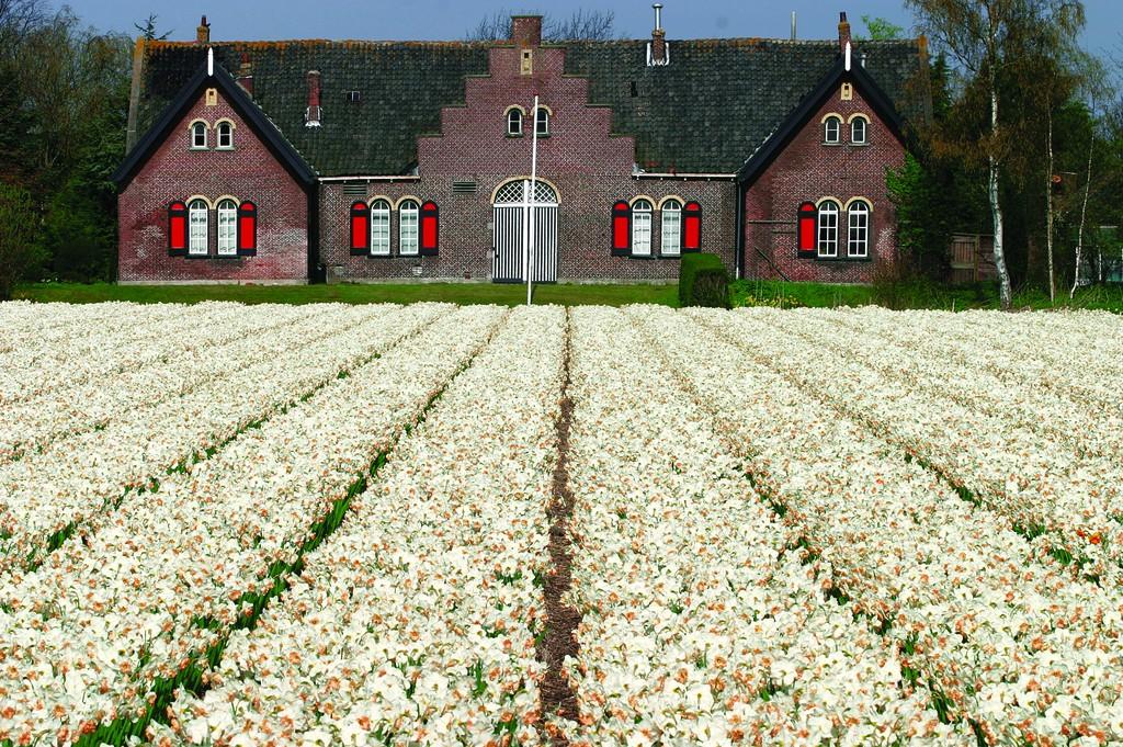 Olanda, fioritura di tulipani