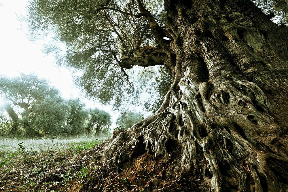Il millenario olivo di Ferrandina (Matera) – Foto Francesco La Centra