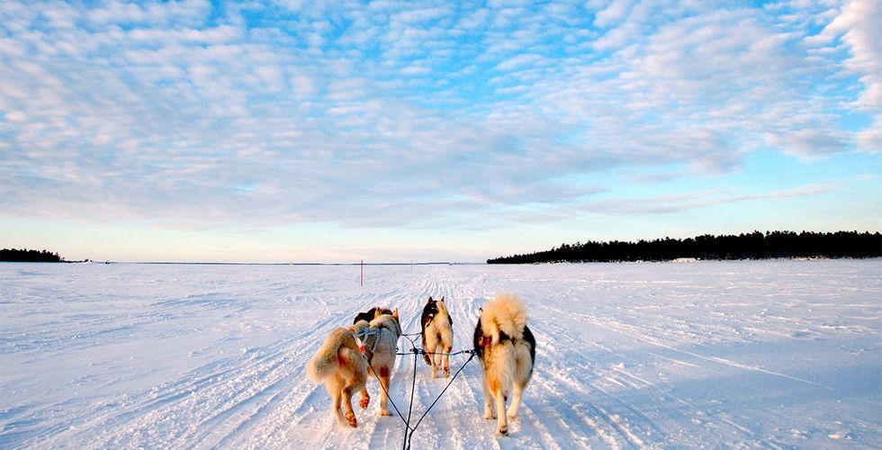 Lapponia, cani da slitta