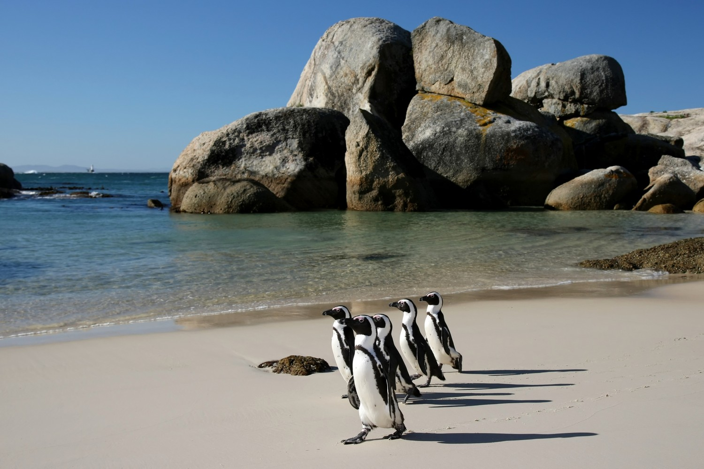 Pinguini sulle coste del Sudafrica