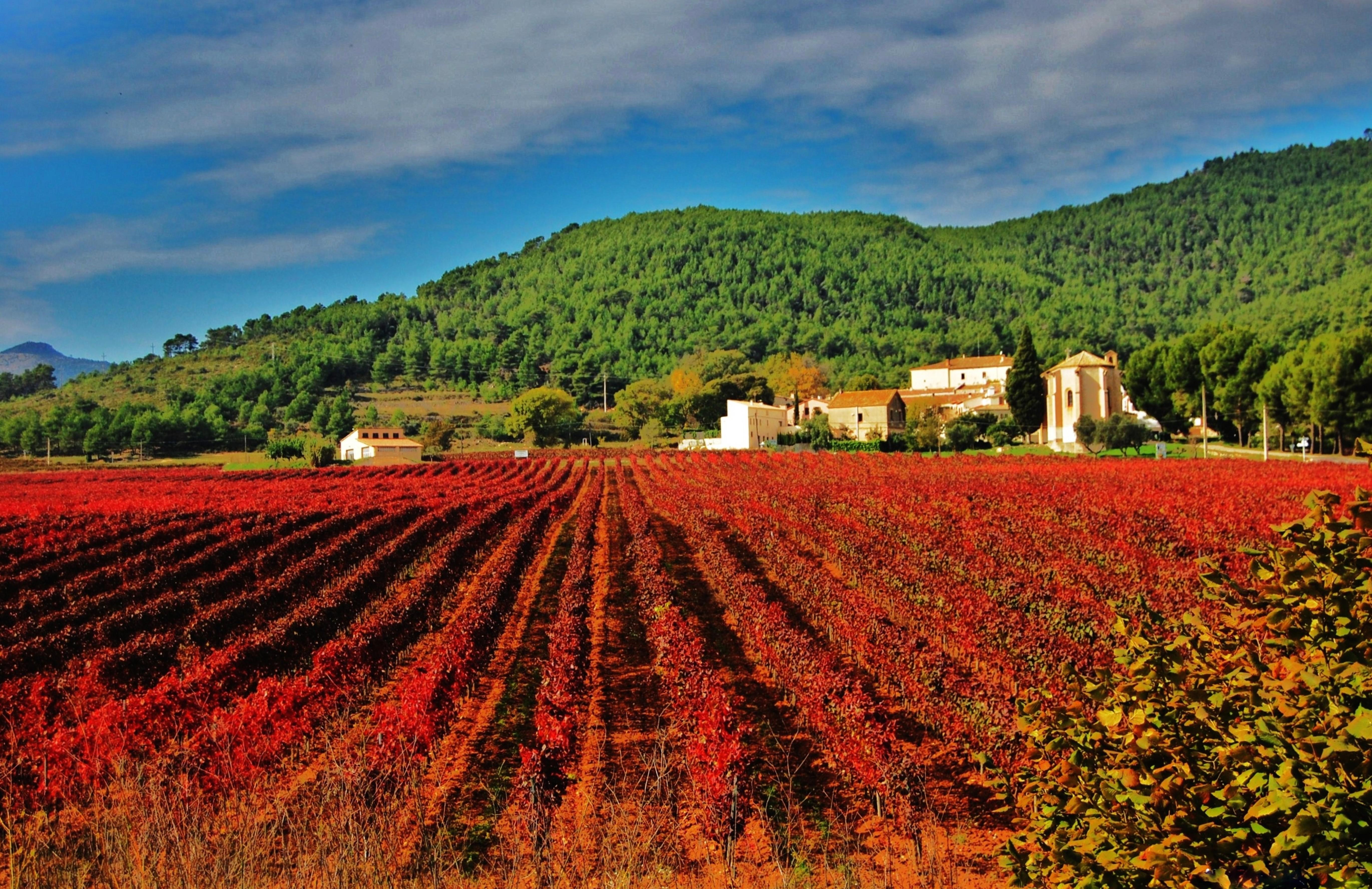 Itinerario in Catalogna Vinya vermella d'Aiguaviva ©Foto Maria Rosa Ferré-Agència Catalana de Turisme