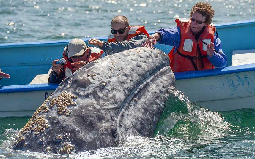 Balena grigia in Bassa California del Sud